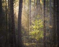 Φως του ήλιου που λάμπει στο δέντρο φύλλων σε ένα δάσος πεύκων στοκ φωτογραφία