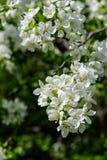 Φως του ήλιου στον κλάδο με το appleblossom στο appletree την άνοιξη στο πράσινο backround - κατακόρυφος Στοκ Φωτογραφία