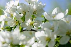 Φως του ήλιου στον κλάδο με το appleblossom στο appletree την άνοιξη στο πράσινο backround - οριζόντιο Στοκ εικόνες με δικαίωμα ελεύθερης χρήσης