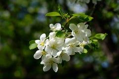 Φως του ήλιου στον κλάδο με το appleblossom στο appletree την άνοιξη στο πράσινο backround - οριζόντιο Στοκ φωτογραφία με δικαίωμα ελεύθερης χρήσης