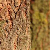Φως του ήλιου υποβάθρου σύστασης φλοιών δέντρων Στοκ Φωτογραφίες