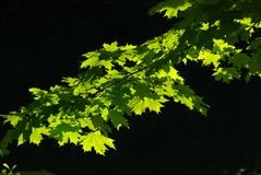 Φως του ήλιου φύλλων σφενδάμου στοκ εικόνες