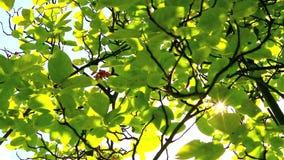 Φως του ήλιου μέσω των πράσινων φύλλων απόθεμα βίντεο
