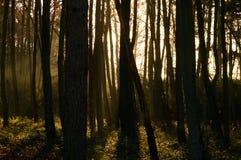 Φως του ήλιου που κρυφοκοιτάζει μέσω των ψηλών δέντρων στο δάσος Στοκ Εικόνες