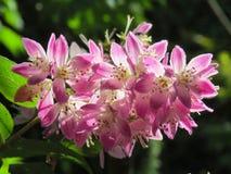 Φως του ήλιου που πιάνει τα ρόδινα λουλούδια Ribus Στοκ εικόνα με δικαίωμα ελεύθερης χρήσης
