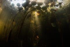 Φως του ήλιου, σκιές και μαξιλάρια κρίνων υποβρύχια στη λίμνη στοκ εικόνες με δικαίωμα ελεύθερης χρήσης