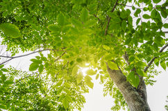 Φως του ήλιου στα δέντρα του πράσινου θερινού δάσους Στοκ Φωτογραφία