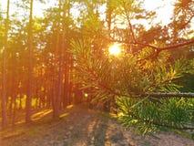Φως του ήλιου στο δάσος πεύκων στοκ εικόνα