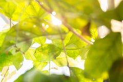φως του ήλιου φύλλων Στοκ Εικόνα