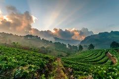 Φως του αγροκτήματος φραουλών στο doi angkhang, Chiangmai, Ταϊλάνδη Στοκ Φωτογραφίες