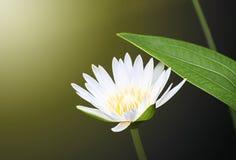 Φως Lotus Στοκ φωτογραφία με δικαίωμα ελεύθερης χρήσης
