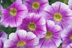 Φωτεινά άνθη πετουνιών Στοκ Εικόνες