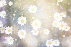 Φωτεινά αφηρημένα λουλούδια μαργαριτών ανθών Στοκ φωτογραφία με δικαίωμα ελεύθερης χρήσης