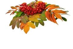 Φωτεινά ζωηρόχρωμα φύλλα φθινοπώρου των αποβαλλόμενων δέντρων και μια δέσμη της τέφρας βουνών με τα κόκκινα ώριμα μούρα Στοκ Φωτογραφίες