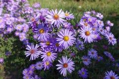 Φωτεινά ιώδη λουλούδια του dumosum Symphyotrichum στοκ εικόνα