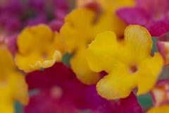 Φωτεινά κίτρινα και ρόδινα λουλούδια Στοκ Εικόνες