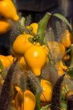 Φωτεινά κίτρινα καλά διακοσμητικά φρούτα ` Solanum mammosum `, με το ακραίο τέλος της ομοιότητας φρούτων ` s σε ένα ανθρώπινο στή Στοκ Φωτογραφία