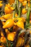 Φωτεινά κίτρινα καλά διακοσμητικά φρούτα ` Solanum mammosum `, με το ακραίο τέλος της ομοιότητας φρούτων ` s σε ένα ανθρώπινο στή Στοκ Εικόνες