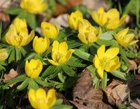 Φωτεινά κίτρινα ξύλινα λουλούδια Anemone Στοκ Φωτογραφία