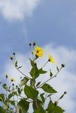 Φωτεινά κίτρινα λουλούδια στο τέντωμα κήπων επάνω προς το μπλε ουρανό με τα σύννεφα Στοκ φωτογραφία με δικαίωμα ελεύθερης χρήσης