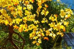 Φωτεινά κίτρινα φύλλα σφενδάμου, αναδρομικά φωτισμένα Στοκ Εικόνα
