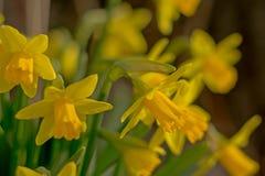 Φωτεινά κίτρινα daffodils, εκλεκτική εστίαση στοκ εικόνες