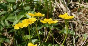 Φωτεινά κίτρινα primroses λουλουδιών φιλμ μικρού μήκους