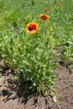 Φωτεινά κεφάλια λουλουδιών και πράσινα φύλλα Gaillardia Στοκ Φωτογραφίες