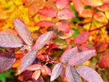 Φωτεινά κόκκινα και κίτρινα φύλλα φθινοπώρου στοκ φωτογραφία