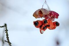 Φωτεινά κόκκινα μούρα που καλύπτονται με τον πάγο Βροχής παγώματος παγωμένου γραφικά δέντρα Άφιξη του χειμώνα Στοκ φωτογραφία με δικαίωμα ελεύθερης χρήσης