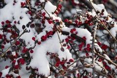 Φωτεινά κόκκινα μούρα στο χιόνι σε χειμερινό ηλιόλουστο ημερησίως στοκ φωτογραφία