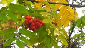 Φωτεινά κόκκινα μούρα του Rowan που ταλαντεύονται τον αέρα απόθεμα βίντεο