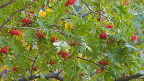 Φωτεινά κόκκινα μούρα του Rowan που ταλαντεύονται τον αέρα φιλμ μικρού μήκους