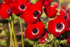 Φωτεινά κόκκινα λουλούδια anemone παπαρουνών στον κήπο Στοκ Εικόνα