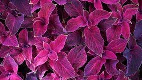 Φωτεινά κόκκινα φύλλα αιώνιο coleus φυτών, plectranthus scutellarioides Διακοσμητικές κόκκινες coleus βελούδου εγκαταστάσεις στεν φιλμ μικρού μήκους