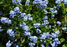 Φωτεινά μπλε forget-me-nots σε ένα λιβάδι Στοκ φωτογραφίες με δικαίωμα ελεύθερης χρήσης
