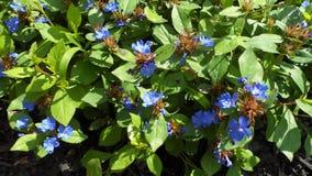 Φωτεινά μπλε άγρια λουλούδια στοκ εικόνα