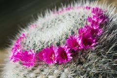Φωτεινά λουλούδια ενός κάκτου Mammillaria Στοκ εικόνα με δικαίωμα ελεύθερης χρήσης