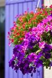 Φωτεινά λουλούδια πετουνιών σε ένα υπόβαθρο τοίχων σπιτιών Στοκ Εικόνες