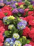 Φωτεινά πολύχρωμα hydrangeas Στοκ Εικόνα
