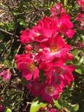 Φωτεινά ρόδινα τριαντάφυλλα κτύπου έξω στοκ φωτογραφία με δικαίωμα ελεύθερης χρήσης