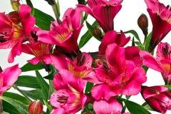 Φωτεινά ρόδινα λουλούδια Alstromeria Στοκ εικόνες με δικαίωμα ελεύθερης χρήσης