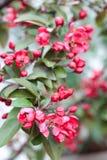 Φωτεινά ρόδινα λουλούδια sakura Στοκ φωτογραφία με δικαίωμα ελεύθερης χρήσης