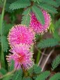 Φωτεινά ρόδινα χνουδωτά λουλούδια δέντρων Mimosa Στοκ Εικόνες