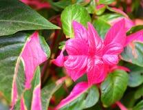Φωτεινά φύλλα ροζ ή Fuscia μεταξύ της πρασινάδας - υπόβαθρο φύσης - Coleus Blumei - Plectranthus Scutellarioides Στοκ εικόνες με δικαίωμα ελεύθερης χρήσης