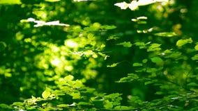 Φωτεινά φύλλα των δέντρων μια ηλιόλουστη ημέρα απόθεμα βίντεο