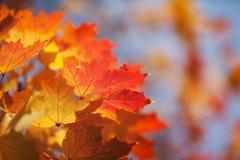 Φωτεινά φύλλα φθινοπώρου ενός σφενδάμνου ενάντια στο μπλε ουρανό Στοκ φωτογραφία με δικαίωμα ελεύθερης χρήσης