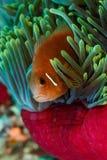 Φωτεινά χρώματα του clownfish, ψάρια anemone, που κρύβει στο ρόδινο και μπλε anemone θάλασσας Στοκ Εικόνα