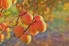 Φωτεινά όμορφα juicy ώριμα πορτοκαλιά βερίκοκα Η έννοια της θερινής συγκομιδής, κονσερβοποίηση Ημέρα βερίκοκων Ηλιοβασίλεμα και β Στοκ εικόνα με δικαίωμα ελεύθερης χρήσης