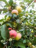 Φωτεινά ώριμα juicy υγρά μήλα σε έναν κλάδο Στοκ φωτογραφίες με δικαίωμα ελεύθερης χρήσης